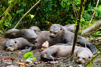 Riesenotter im Napo Wildlife Center