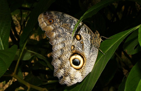 Caligo-Schmetterling