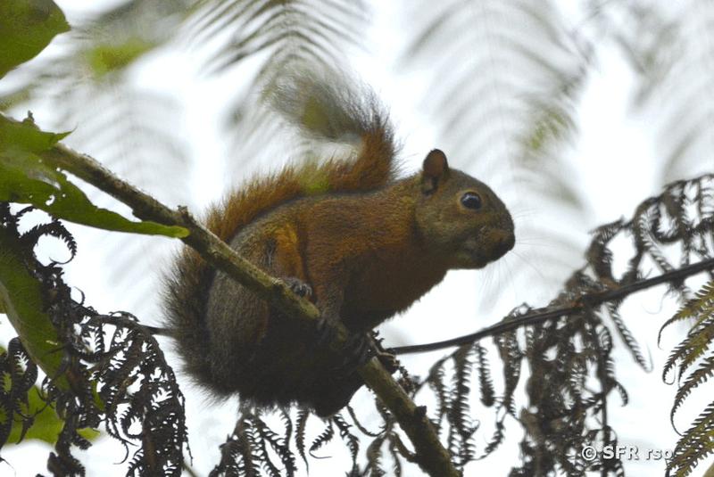 eichhörnchen in ecuador