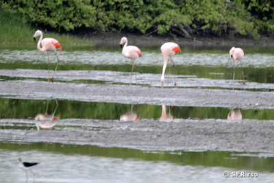 Chileflamingo in Ecuador