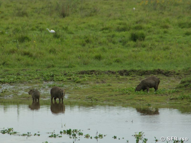 Capybaras am Ufer in Ecuador