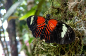 Heliconius Doris Schmetterling im Nationalpark Sumaco in Ecuador