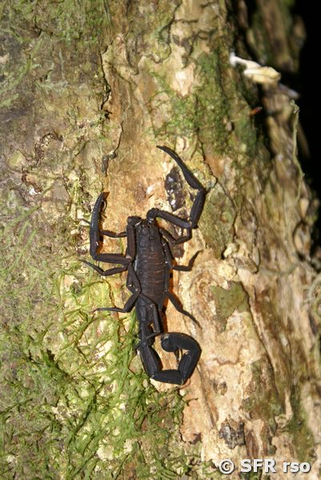 Skorpion Baumstamm in Ecuador