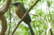 Roetelbauchmotmot im Nationalpark Machalilla in Ecuador