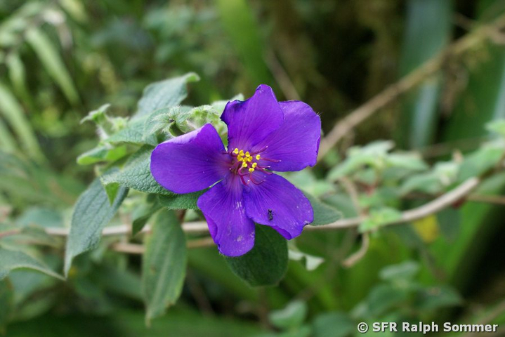 Tibouchina Bluete in Ecuador