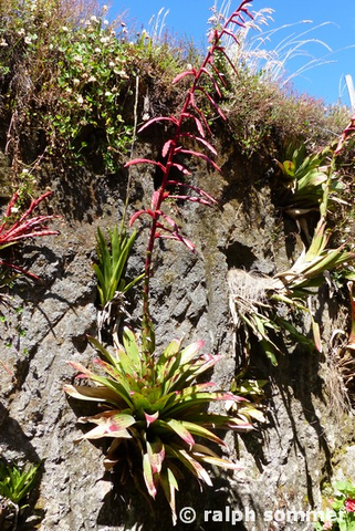 Bromelien im Nationalpark Cotopaxi in Ecuador