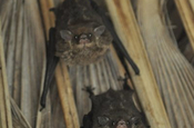 White lined sac winged bat in Ecuador