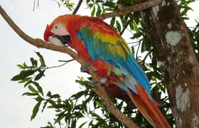 Papagei (scarlet macaw)
