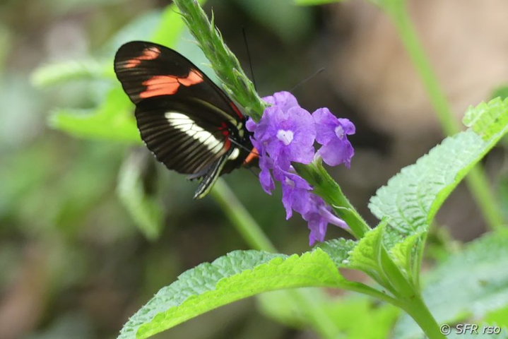 Heliconius Schmetterling im Nationalpark Sumaco in Ecuador