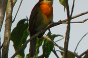 Trauer Bartvogel Scarlet crowned Barbet in Ecuador