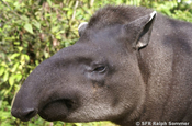 Tapir Rostrum in Ecuador