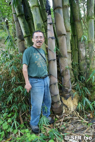 Bambus Gigante und Person in Ecuador