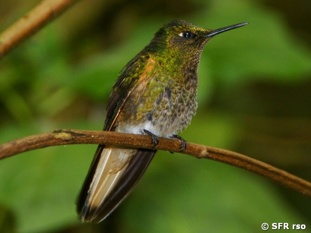 Buff tailed Coronet in Ecuador