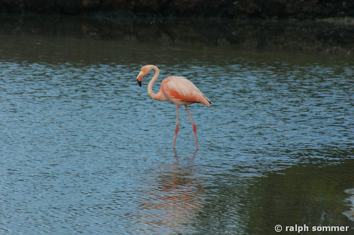 Roter Flamingo am Bachas Beach, Galapagos