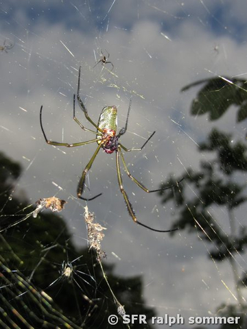 Goldene Seide Weber golden silk weaver spider in Ecuador